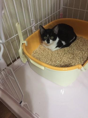#ニャンとも清潔トイレ子猫用#