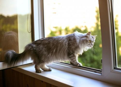 窓から身を乗り出す灰色猫