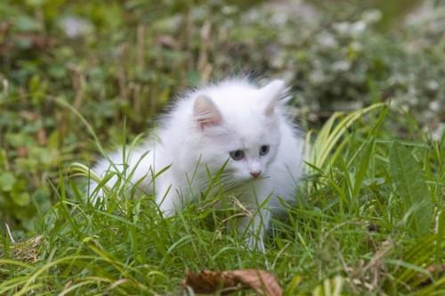 草むらに居る白いノルウェージャンをレストキャットの子猫