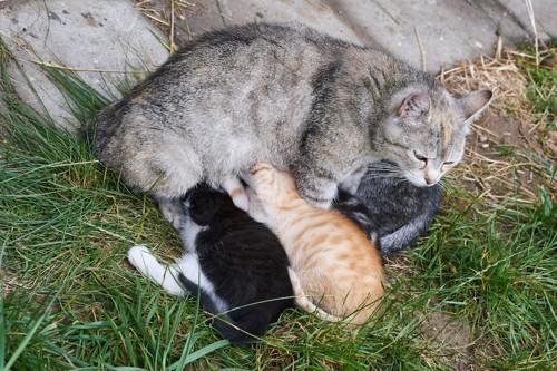 草むらで子猫に授乳する母猫