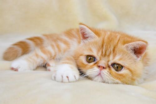 ベッドでくつろぐエキゾチックショートヘアの子猫