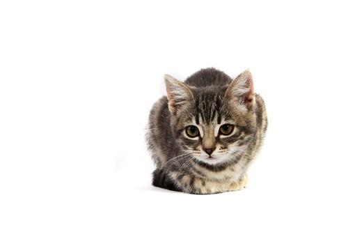 香箱座りで見つめる猫
