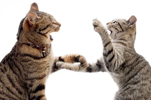 じゃれ合う猫