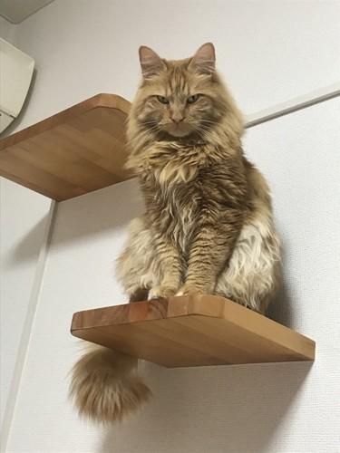 自宅の長毛猫