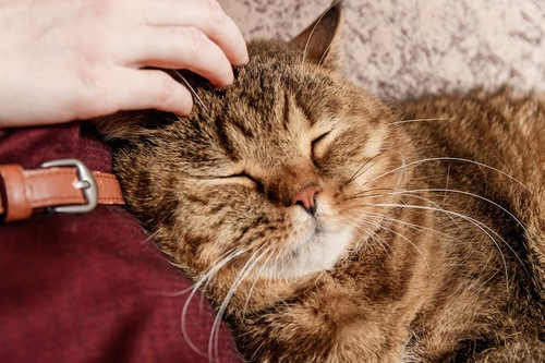 飼い主に甘えるタビー柄の猫