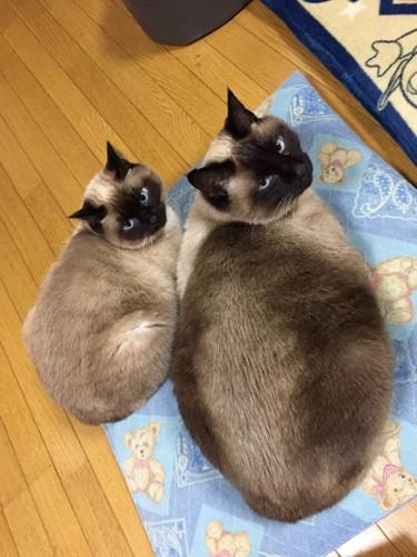 振り返る2匹のシャム猫