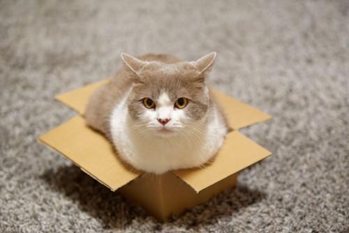 窮屈な段ボール箱に入る猫
