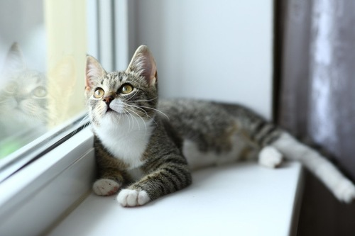 窓を見上げる猫
