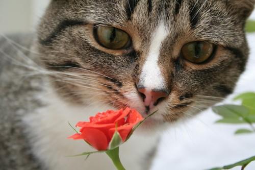 オレンジのバラの匂いを嗅ぐ猫