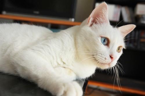 テーブルの上でくつろぐ白猫