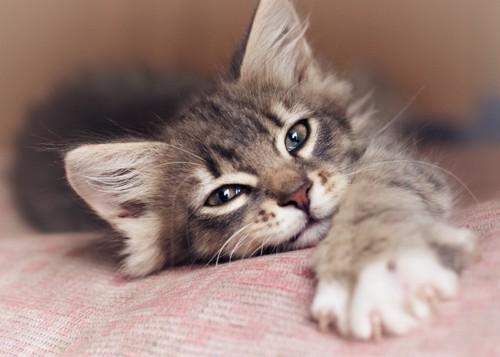 甘えて寝ている猫