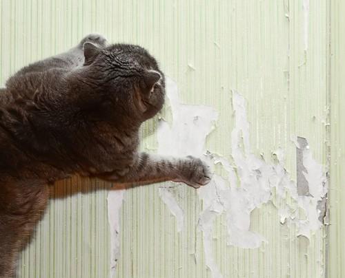 壁をボロボロにする猫
