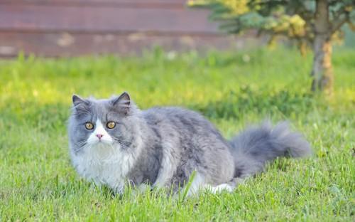 草原を歩くブルーの被毛のラグドール