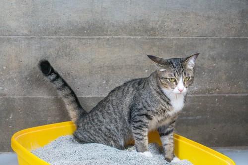 猫トイレに座る猫