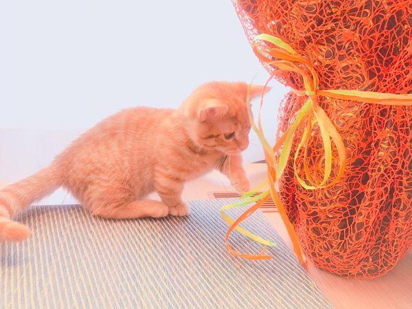 紐で遊ぶマンチカン