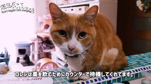 おすわりする茶白の猫