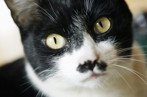 ドアップな白黒猫