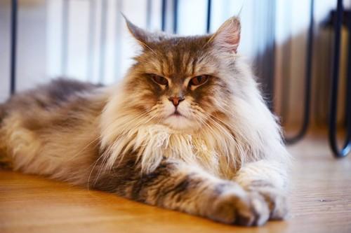 遠くを見つめる長毛猫