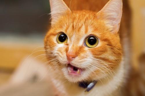 口を舐める猫