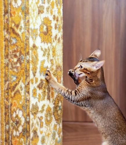 絨毯を引っ掻く猫