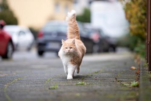 道路を歩く猫