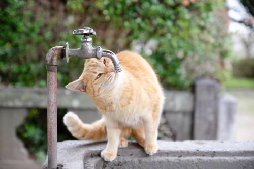 水道水のにおいを嗅ぐ猫