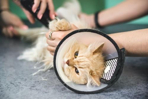 毛を刈られている首にカラーをつけた猫