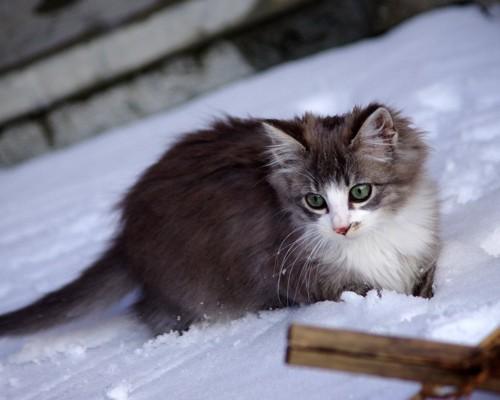 雪の中を歩くノルウェージャンフォレストキャットの子猫