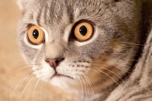 驚いた表情でまん丸な瞳の猫