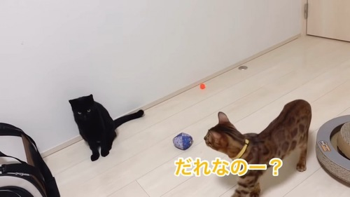 黒猫とベンガル猫