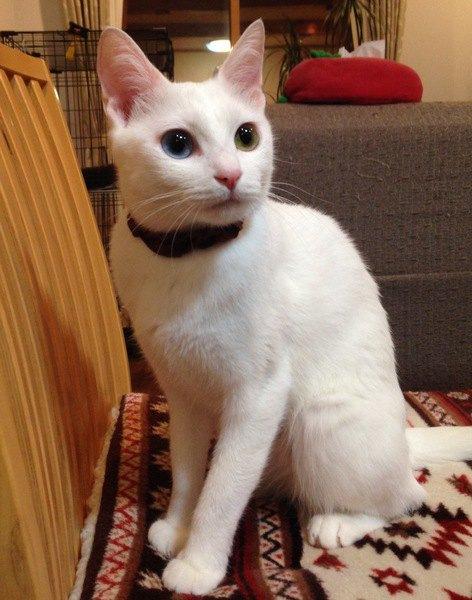 目がクリクリの白猫