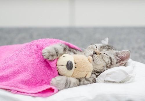 ぬいぐるみを抱えてタオルをかけて寝る子猫