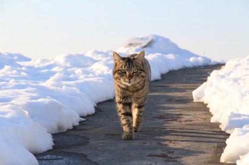 雪の積もった道と猫