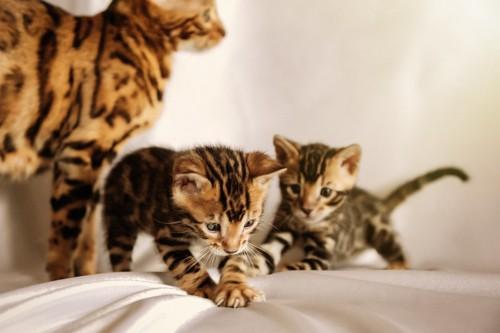 シーツの上で遊ぶ2匹のベンガルの子猫