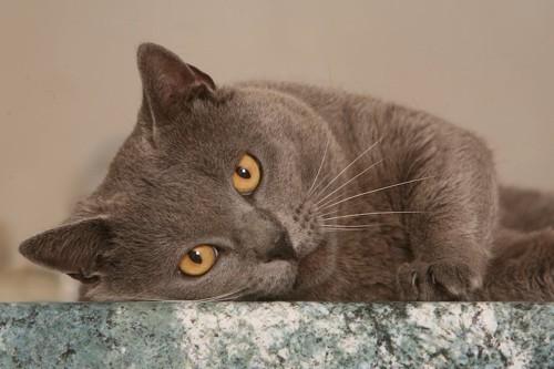 大理石の床の上で寝転ぶグレーの猫