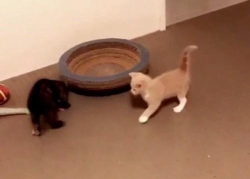 じゃれあう2匹の子猫