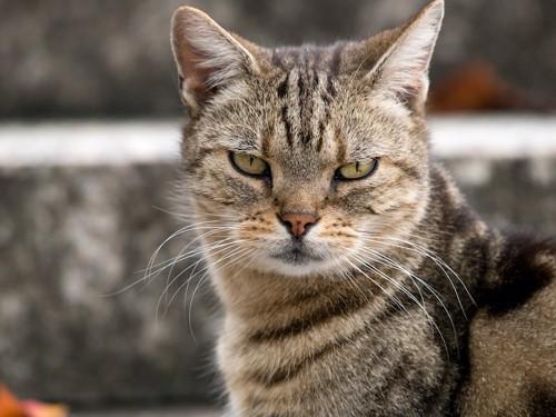 不機嫌そうな表情でこちらを見る猫