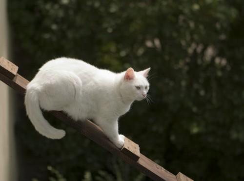 はしごの上の白い猫