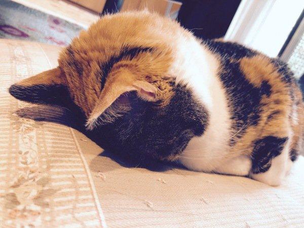 ごめん寝しているミケ猫