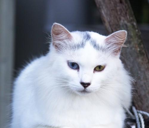 額に模様がある白猫