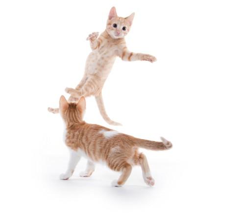 飛び跳ねる子猫
