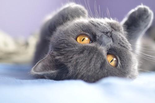 仰向けになってこちらを見る猫