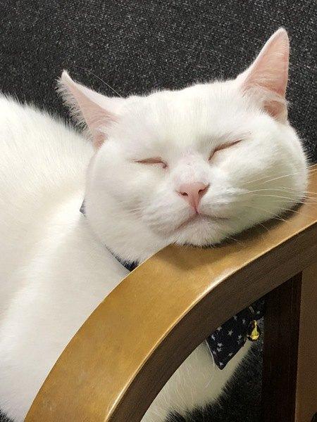 顎乗せして眠る白猫