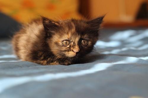 子猫のサビ猫