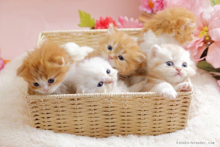 スコティッシュフォールドの子猫3