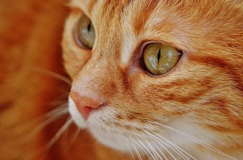 認知症の症状が出る猫