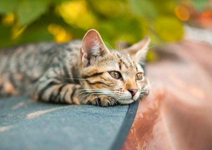 庭で伏せる猫