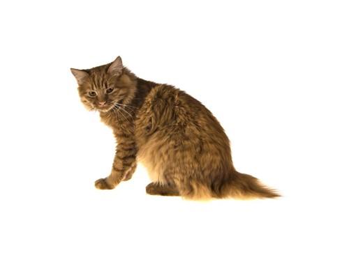 こちらを振り返るしっぽが短い猫