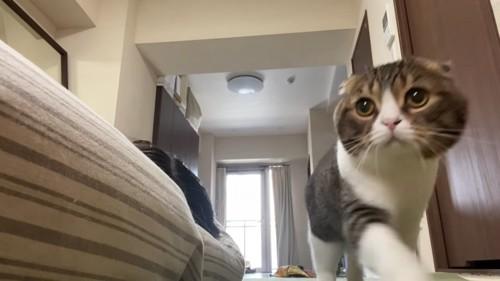 歩く猫の正面