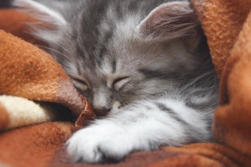 毛布の上で手を伸ばして眠っている猫